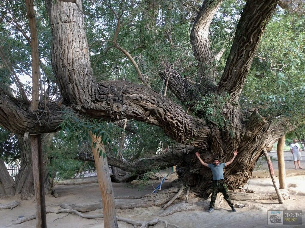 Могучая 700-летняя ива