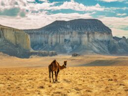 Верблюд в Айракты